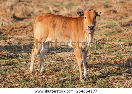 Portrait shot brown calf in the field. - stock photo
