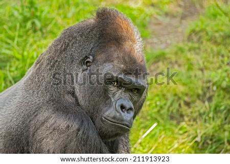 Portrait shot of a big western lowland gorilla - stock photo