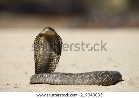 Portrait shot of a snouted or banded Cobra  - stock photo
