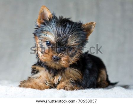 Portrait Small Yorkshire Terrier Puppy - stock photo