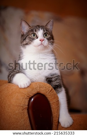 Portrait striped with white a cat on a sofa. Striped not purebred kitten. Small predator. Small cat. - stock photo
