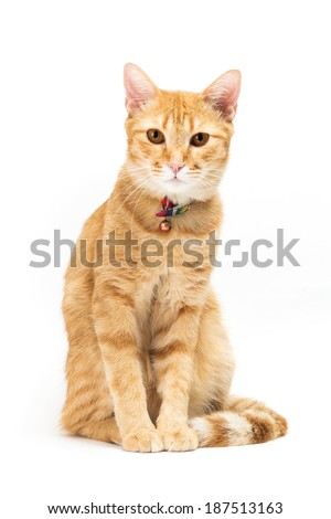 portrait thai yellow cat brown eyed looking at the camera.  isolated on white background - stock photo