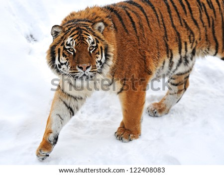 portrait Tiger in the forest in winter - stock photo