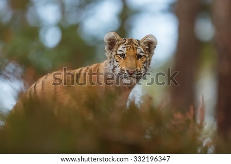portrait tiger with back .light - stock photo