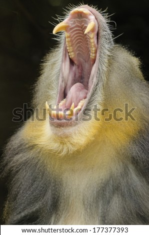 Portrait view of an adult male mandrill opening its mouth showing his long canine teeth. Mandrillus sphinx is a primate of the Old World monkey. - stock photo