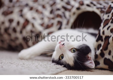 Portrait white with black the domestic cat lying on a floor. - stock photo
