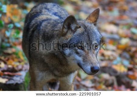 portrait wolf - stock photo