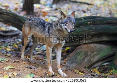 portrait wolf whole body - stock photo