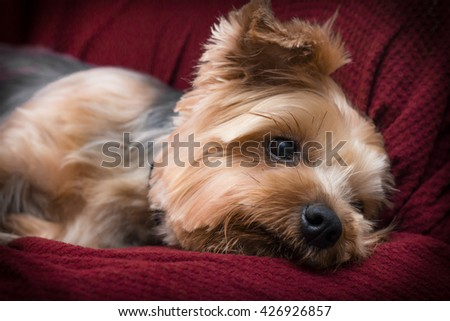 Portrait yorkshire terrier or yorkie relaxing on red couch - stock photo