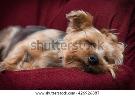 Portrait yorkshire terrier or yorkie sleeping on red couch - stock photo