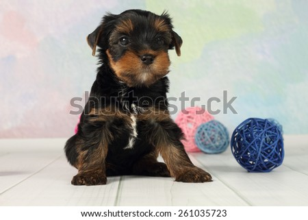 Portrait Yorkshire terrier puppy and wicker balls - stock photo