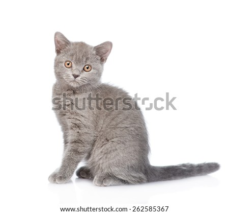 Portrait young gray cat. isolated on white background - stock photo