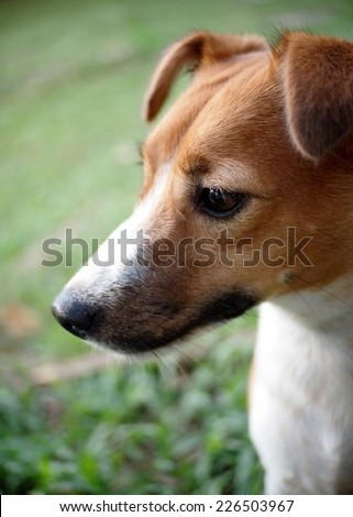 portraits of a happy active young Jack Russel terrier dog white and brown playing around a house with home outdoor surrounding making serious face under morning sunlight in green grass field - stock photo
