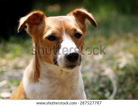portraits of a happy active young Jack Russel terrier dog white and brown playing around a house with home outdoor surrounding making serious face under warm morning sunlight in green grass field - stock photo
