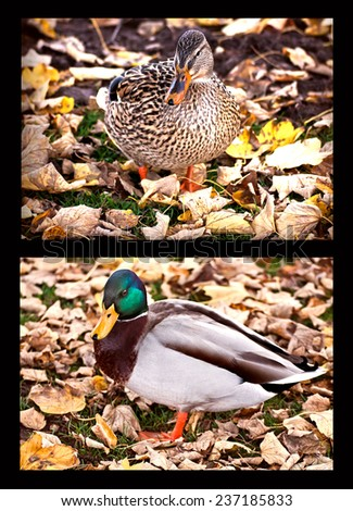 portraits of female and male mallards with autumn fallen leaves - stock photo