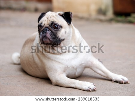 portraits view of a lovely lonely white fat pug dog laying on the gray concrete garage floor making funny sadly face under natural sunlight on a good weather day. - stock photo