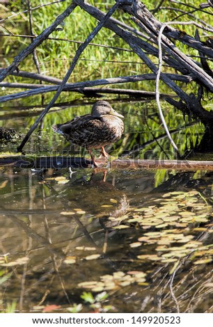 Portraiture of duck on log in Fernan Lake, Idaho. - stock photo