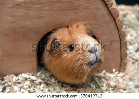 Portret of red guinea pig in her wooden house. - stock photo