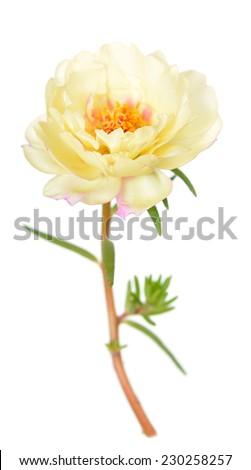 portulaca grandiflora flower isolated on white background  - stock photo