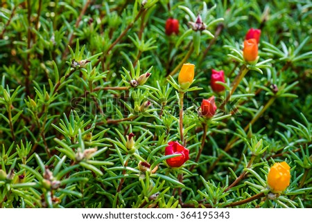 Portulaca grandiflora is a flowering plant in the family Portulacaceae, native to Argentina, southern Brazil, and Uruguay and often cultivated in gardens. - stock photo