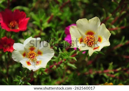 Portulaca grandiflora (Moss rose) blooming in the garden - stock photo