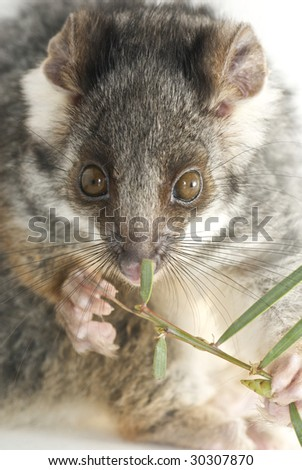 Possum isolated by white eating leaf - stock photo