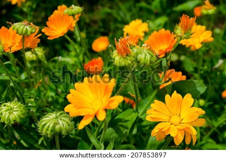 Pot marigold (Calendula officinalis) - stock photo