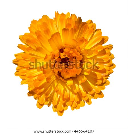 Pot marigold (Calendula officinalis). medicinal calendula marigolds bloomed orange isolate white background - stock photo