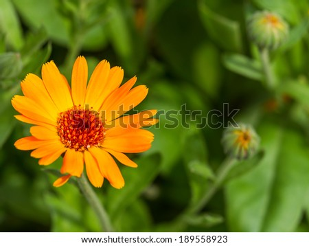Pot marigold detail macro (Calendula officinalis) on bokeh background   - stock photo