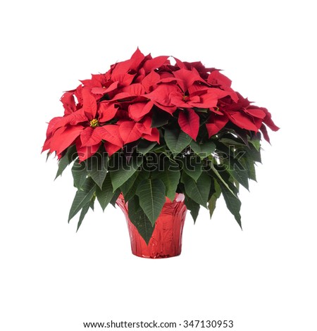 Pot of Bright Red Poinsettia Isolated on White - stock photo