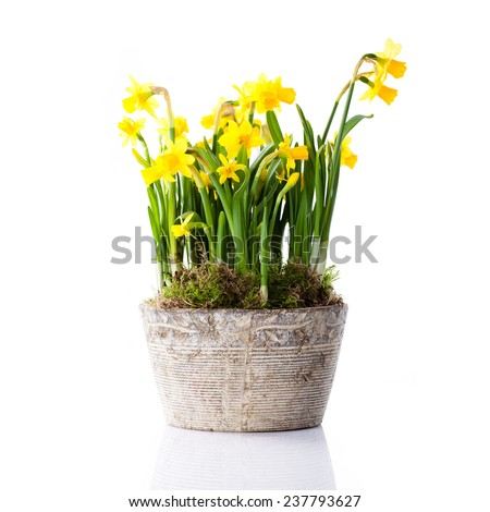 pot of daffodils on isolated background - stock photo