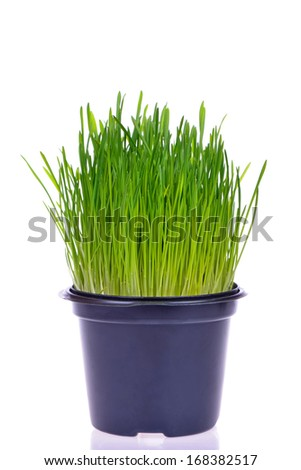 Pot of fresh green grass for cats - stock photo