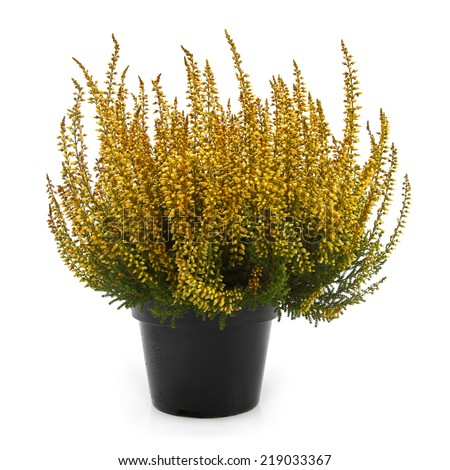 pot of yellow heather isolated on white - stock photo