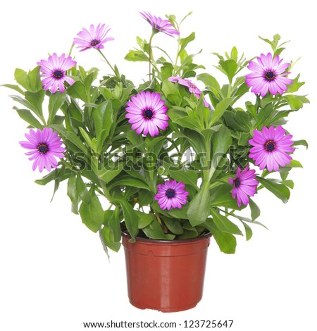 Pot with violet african daisy (Dimorphoteca, Osteospermum) flower - stock photo