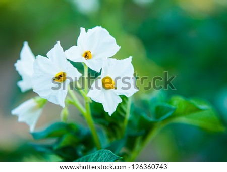 Potato bush blooming with white flowers - stock photo