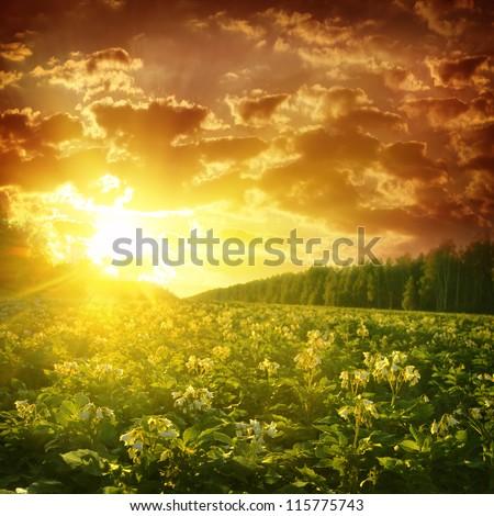 Potato field at sunset. - stock photo
