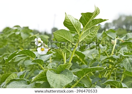 Potato field during flowering period in early summer, close-up - stock photo