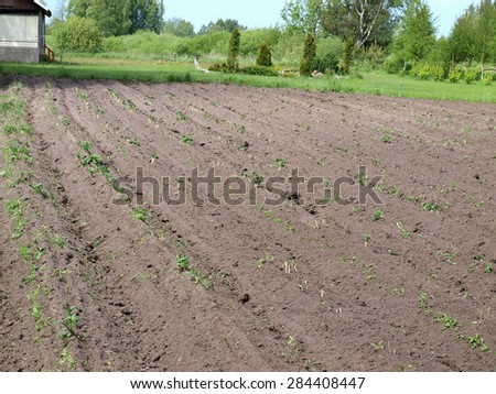 Potato field furrows after harrowing with needle harrow visible white new sprouts - stock photo