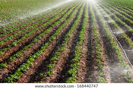 Potato field landscape with irrigation sprinkler watering the plants. Great for agriculture publication.  - stock photo