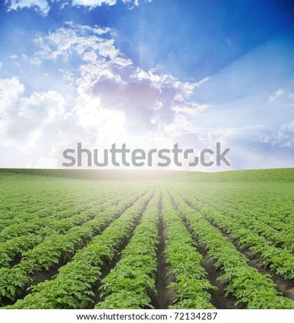 potato field  under blue sky - stock photo