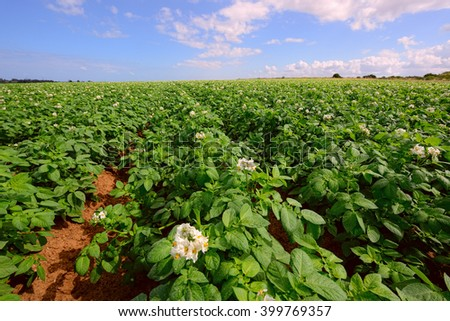 Potato field under blue sky, rows of vegetable food - stock photo