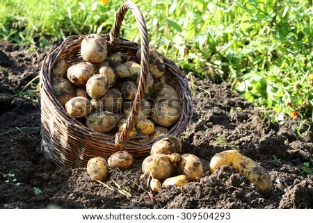 potato harvest - stock photo