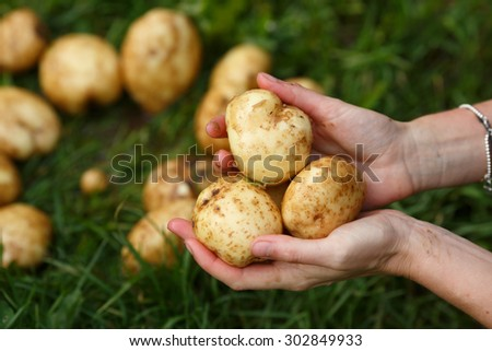Potato harvesting. Female hands holding washed potatoes. Locavore, clean eating,organic agriculture, local farming,growing concept. Selective focus - stock photo