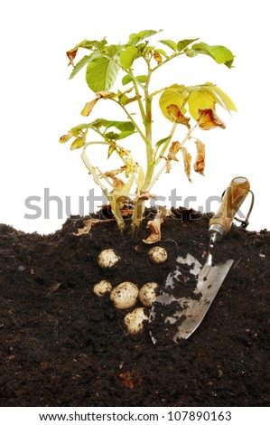 Potato plant and potato crop in soil with a garden trowel - stock photo