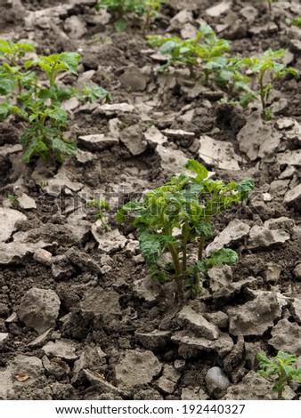 Potato plant growing - stock photo