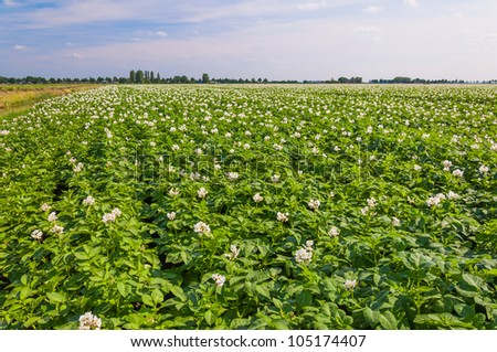 Potato plants with white and yellow flowers in a large field, - stock photo