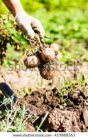 Potato root with new yellow potatoes in hands in protective gloves, selective focus - stock photo