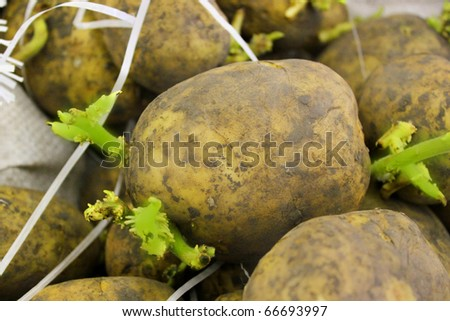 Potato seedlings - stock photo