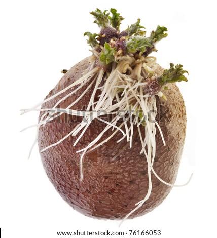potato  sprouts  isolated on white background - stock photo