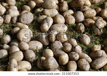 potato tubers in the ground - stock photo